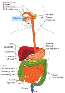 digestive_system_diagram