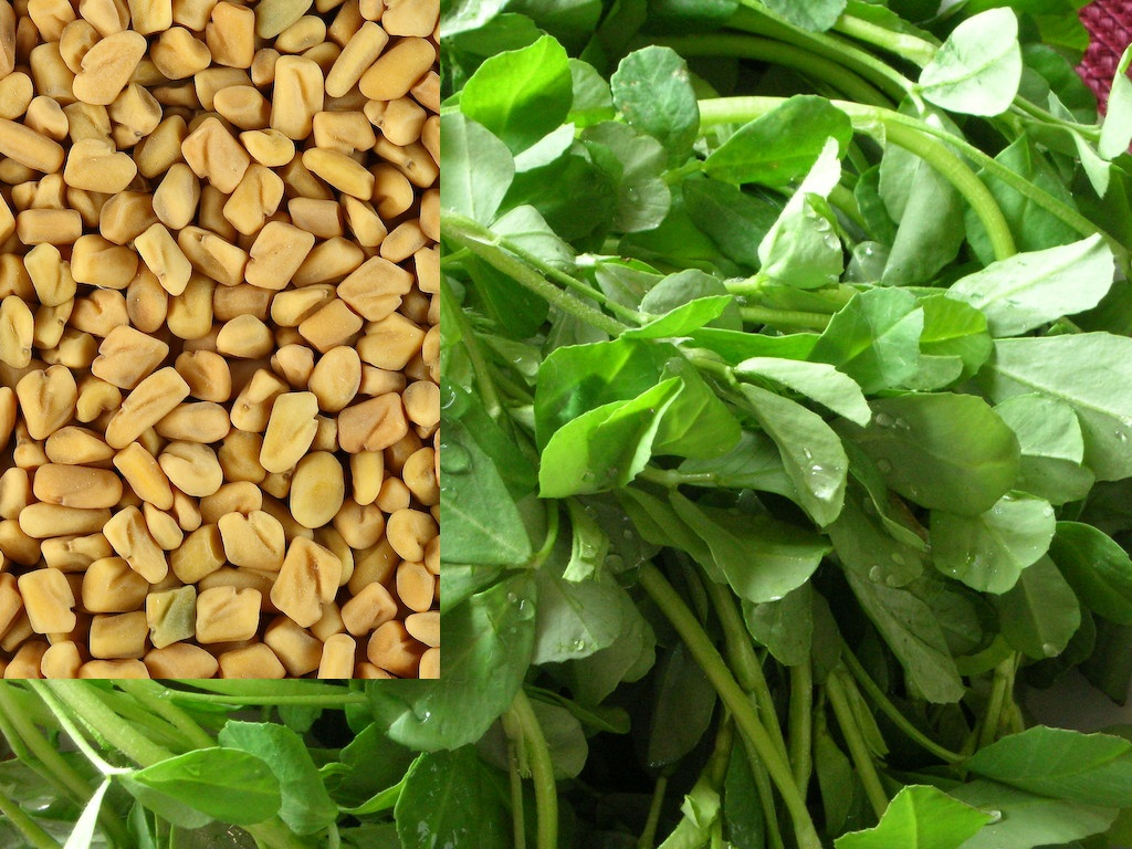Health benefits of fenugreek - Planta china del dinero ...