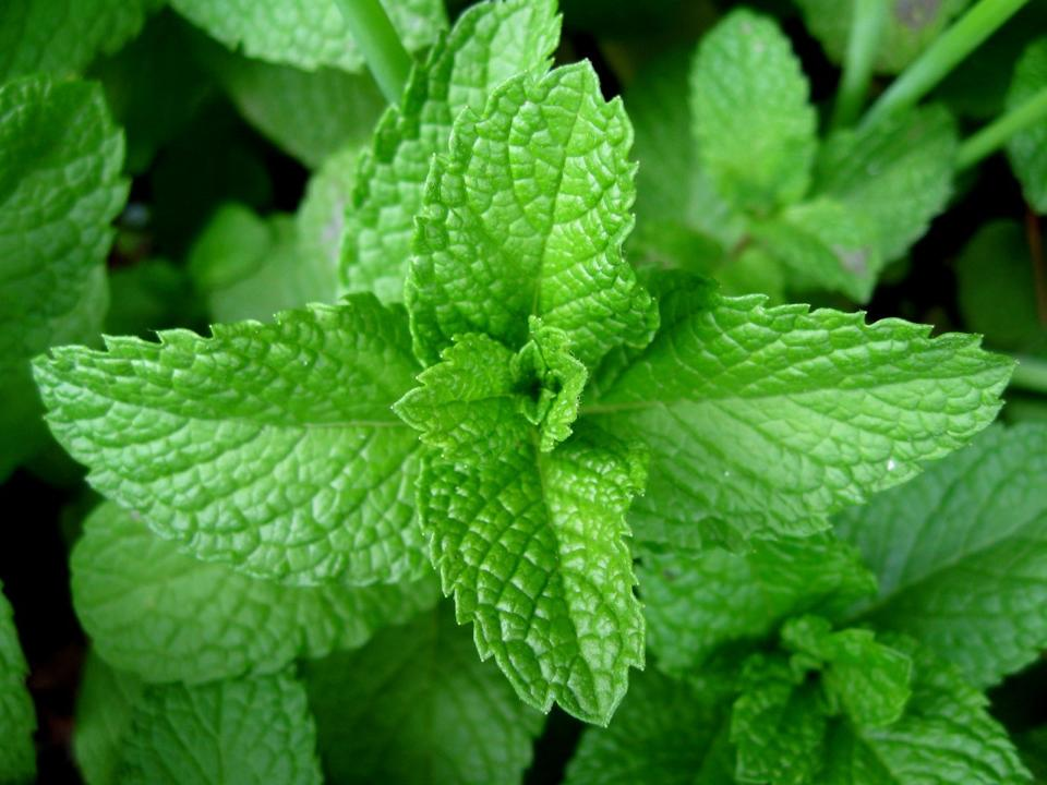 Image result for Peppermint